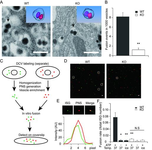 图示:Hid-1缺失影响胰岛素囊泡同型融合的过程。